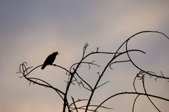 Bird silhouette on branch Royalty Free Stock Photos