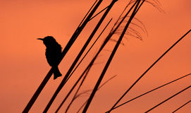 Bird Silhouette. Dramatic sunset silhouette of a bird sitting on a branch Royalty Free Stock Photography