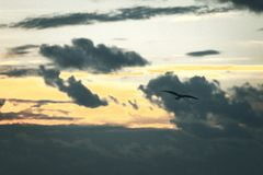 Bird silhouette flying through sunset clouds royalty free stock photography
