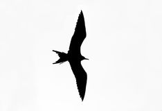 Bird Silhouette Isolated on White Background Stock Images