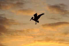 Bird Silhouette. Is a Pelican spreading its wings at sunset against an orange cloud filled sky Stock Image