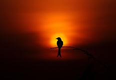 Bird silhouette sunset Royalty Free Stock Images