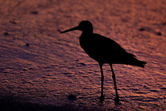 Bird Silhouette at sunset. Silhouette of a shorebird (a Willet) at sunset on the beach in Naples, Florida Stock Image