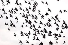 Free Bird Silhouettes Stock Photo - 4994550