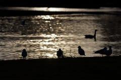 Bird silhouettes Royalty Free Stock Image