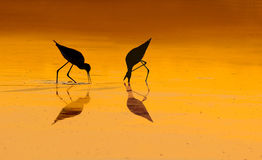 Bird silhouettes in Sunrise Stock Image