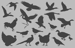 Bird Silhouettes vector. A collection of bird silhouettes created in Adobe Illustrator.  This collection includes ducks, geese, heron, quail, pheasant, crow Royalty Free Stock Image