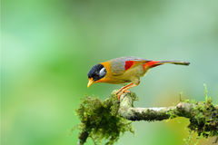Bird (Silver-eared Mesia) , Thailand Stock Photography