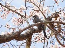 Bird singing on branch of blooming sakura tree Royalty Free Stock Photos