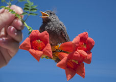 Bird singing. Little sparrow sitting on a flower Stock Image