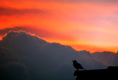 Bird singing Stock Images