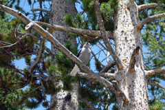 A bird singing from a tree branch in wyoming Stock Photography
