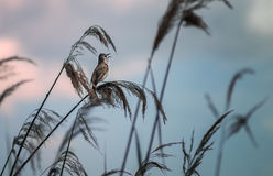 The bird sings evening song Royalty Free Stock Photo