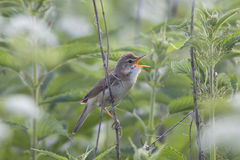 The bird  sings while sitting in a nettle Bush Royalty Free Stock Image