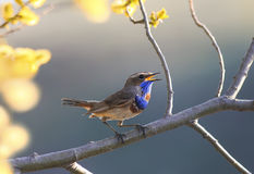 Bird sings in the spring garden on a blossoming tree branch. A blue bird sings in the spring garden on a blossoming tree branch Stock Photography