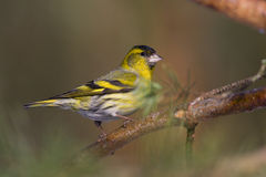 Bird - siskin (carduelis spinus) Royalty Free Stock Photography