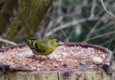 Bird siskin Royalty Free Stock Photography