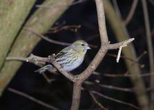 Bird siskin Royalty Free Stock Image
