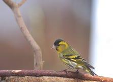 Bird siskin Stock Photos