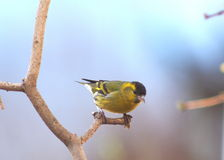 Bird siskin Royalty Free Stock Photo