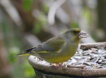 Bird siskin Stock Photo