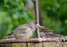 Bird siskin Stock Photography