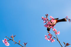 Bird sit on cherry blossom tree. Sooty headed bubul bird drinking syrup from cherry blossom flower Stock Image