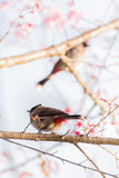 Bird sit on cherry blossom tree. Sooty headed bubul bird drinking syrup from cherry blossom flower Stock Photos