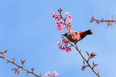Bird sit on cherry blossom tree. Sooty headed bubul bird drinking syrup from cherry blossom flower Stock Photography