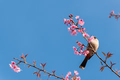 Bird sit on cherry blossom tree. Sooty headed bubul bird drinking syrup from cherry blossom flower royalty free stock photos