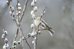 Bird sits among branches fluffy willow in a Park in spring Stock Images
