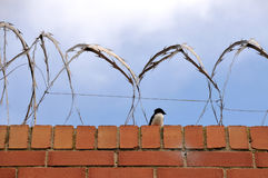 Bird sits on a brick wall with razor wire on it Stock Photography