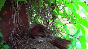 Bird sits on the eggs in the nest. Royalty Free Stock Photos