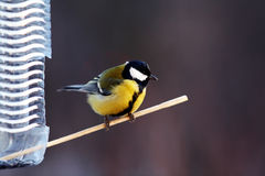 The bird sits on a perch at the feeder Royalty Free Stock Photography