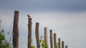Bird on a pillar of a vineyard.