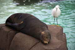 Bird and Seal on Rock. A bird sits on a rock while the seal lays sleeping Royalty Free Stock Images