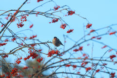 Bird sits on tree branch and eats rowanberry Stock Image