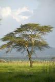 Bird sits in tree at Lewa Wildlife Conservancy, North Kenya, Africa Stock Photo