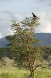 Bird sits in tree at Lewa Wildlife Conservancy, North Kenya, Africa Stock Photos