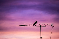 Bird sitting on antenna Stock Photography