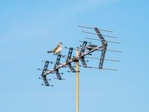 Bird Sitting on Antenna. A Pycnonotidae Bird Sitting on Antenna in the morning day stock photo