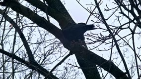 Bird is Sitting on a Bare Branches Tree, Winter, Cold Weather stock video footage