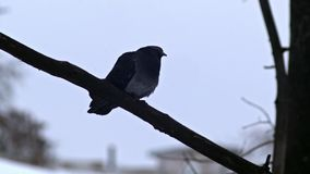 Bird is Sitting on a Bare Branches Tree, Winter, Cold Weather stock video