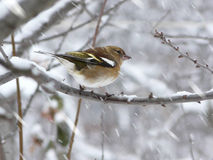Bird sitting on a branch. Bird sitting on a snow-covered branch Royalty Free Stock Images