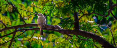 Bird sitting on a branch. A beautiful yellow bird sitting on a branch with a green background- Pantanal, PARAGUAY in August 2015 Stock Image