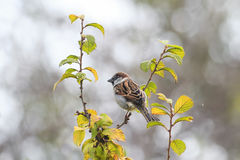 Bird sitting on a branch among green leaves in the garden. A small bird sitting on a branch among green leaves in the garden Royalty Free Stock Images