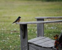 Bird sitting on chair. Stonechat sitting on a chair at the ocean Stock Photo