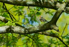 Common chaffinch sitting on branch in Sweden Royalty Free Stock Photography