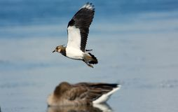 Flying Northern lapwing over the water, Sweden royalty free stock image