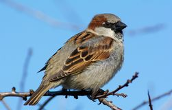 House sparrow sitting on branch in Sweden stock photos
